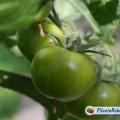 Рецепт салату із зелених помідорів. Смачно і корисно!